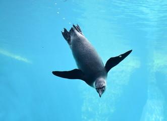 Fototapeta Pingwin nurkujący głęboko w niebieskiej wodzie.