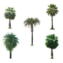 Green palm tree isolated on white background The collection of palm trees.