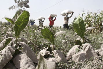 Ash from Mount Sinabung volcano covers vegetable plants as villagers carry their belongings at Payung Village in Karo