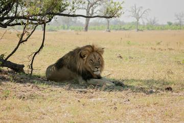 Jericho Hwange's Famous lions