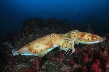 Pharaoh Cuttlefish pair mating
