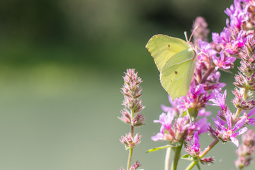 Green butterfly on pink flowers