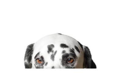 Cute dalmatian dog is hiding. Isolated on white