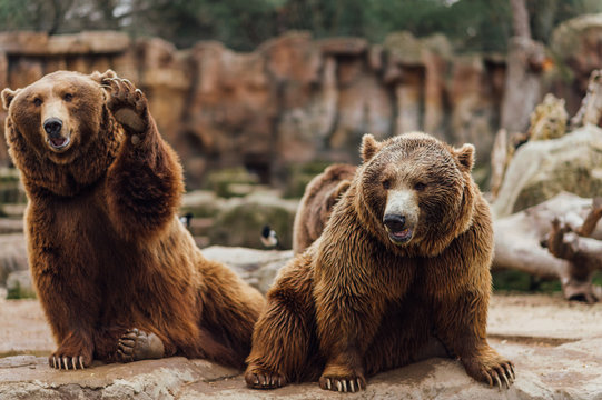 Two brown bears play in the zoo