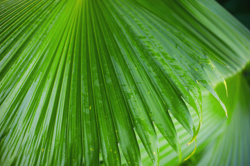 Palm leaves background, beautiful tree, Palm Sunday