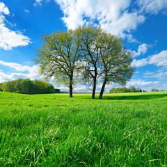 Grüne Wiese mit drei Eichen unter blauem Himmel im Frühling