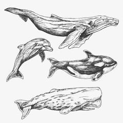 Whales Set. Hand drawn illustration. Humpback whale, killer whale, sperm whale, dolphin