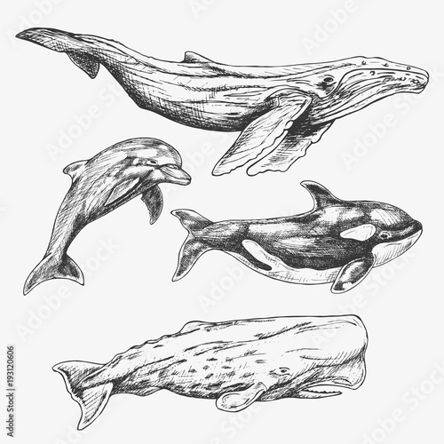 Sperm whale sketch drawings