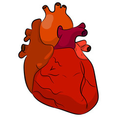 Vector illustration of a Human Heart isolated on a white background.