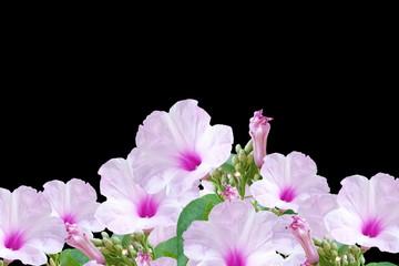 Bush morning glory Ipomoea carnea flower in black background