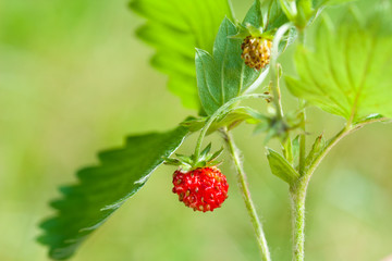 Strawberry and leaf on green  background