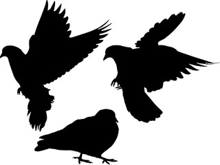 three pigeon black isolated silhouettes