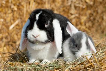 Weißohr Zwergwidder Kaninchen mit Nachwuchs