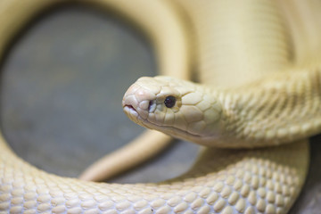 White snake stare prey