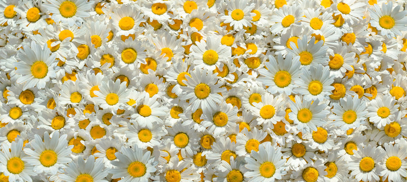 Flowers background. Chamomile flowers.