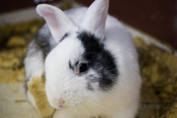 White rabbit with black spots on the face