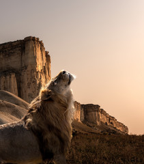 Wall Mural - alone lion in savannah