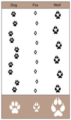Dog, fox and wolf tracks by comparison. Similar looking trails of canids - isolated vector illustration on white background.