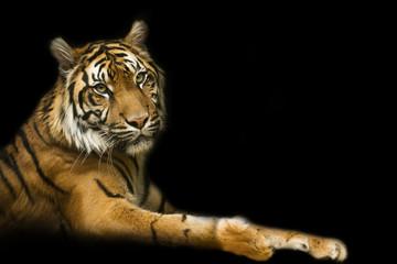 Tiger with black backround