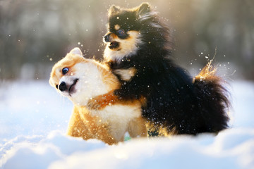 Funny Dogs Playing