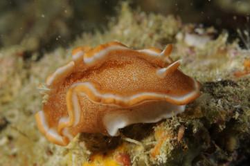 Nudibranch Glossodoris Rufomarginata. Macro photo taken in Malapascua island, Cebu Philippines.