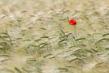 Beautiful red poppy in a green wheat field in the summer, Dobrogea,Romania