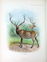 Illustration of a deer.