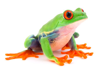 Red eyed monkey tree frog, a tropical animal from the rain forest in Costa Rica isolated on white background. This amphibian is an endangered species and needs nature conservation..