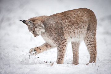 Lynx playing in Snow