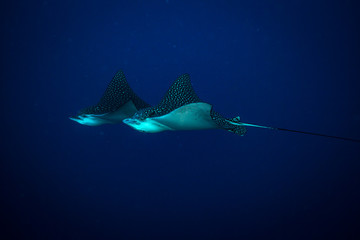Spotted eagle ray on coral reef of the island Cozumel