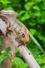 Chameleon on protection from dry tree