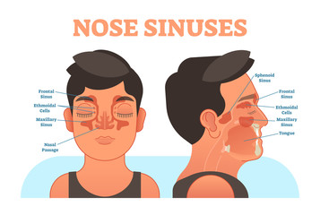 Nose sinuses anatomical vector illustration cross section.