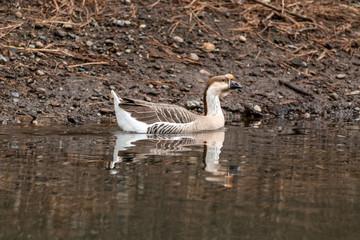 Brown Chinese Goose