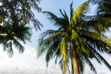 coconut palm tree on sky background