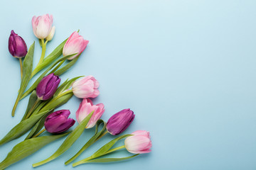 Pink and purple tulip flowers on blue background. Flat lay, top view.