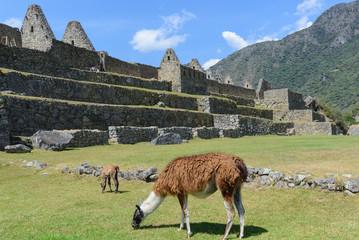 Llamas grazing at Machu Picchu, Peru