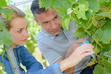 couple pruning vines
