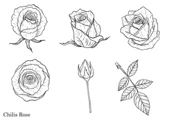 Rose vector set by hand drawing.Beautiful flower on white background.Rose art highly detailed in line art style.Chilis rose for colour book