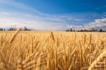 Farmland. Golden wheat field under blue sky.