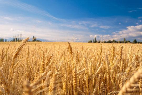 Farmland. Golden wheat field under blue sky.