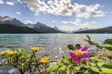 Blooming wild rose and yellow potentilla by Medicine Lake, Jasper National Park. Alberta, Canada