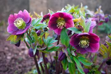 purple hellebore flower in the garden