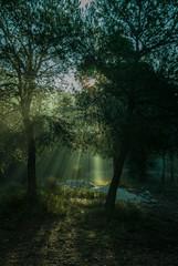 Sunrise with sunbeams illuminating the pine forest floor
