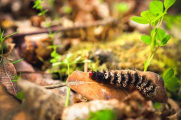 black maggot hairy larva caterpillar with red head