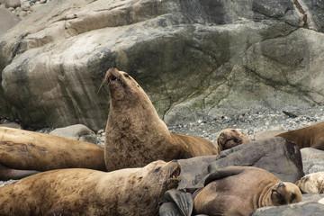 Stellar sea lions on beach;  Alaska