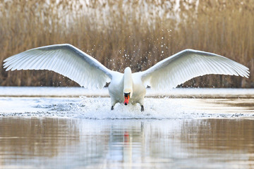incredibly beautiful white bird on the water with open wings