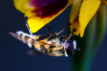 A Fluffy hornet and sweet nectar