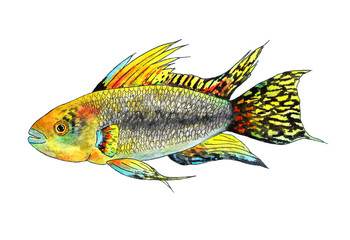 Tropical fish apistogramma cacatuoides. Watercolor illustration.