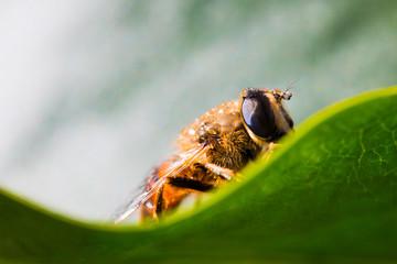 A sopping fluffy hornet onto a green leaf