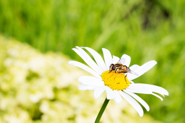 Fly sitting on camomile. Macro photo. White flower. Life of insects